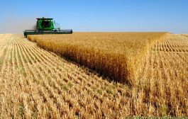 میزان خرید گندم در خلیفان از مرز ۳ هزار تن گذشت