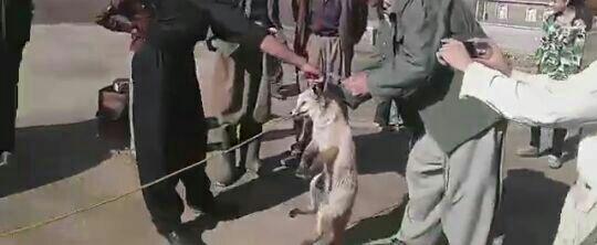 روباهی در روستا/ فرهاد هادی